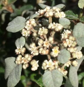 Dusty Miller (Spyridium parvifolium)