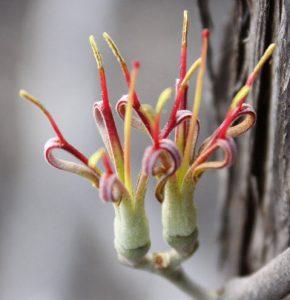 Image of the flower of Amyema quandang var. bancroftii