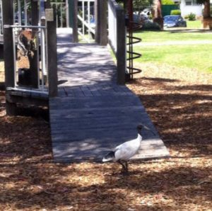 An image of a black and white ibis on the ground next to some play equipment in a park