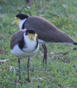 A close up image of two plover birds, common visitors to school yards