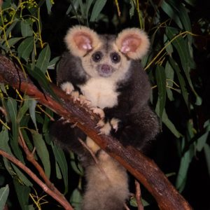 An image of a Greater Glider, taken by Josh Bowell