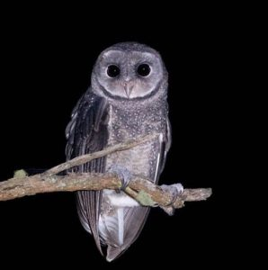 An image of a Sooty Owl taken at night